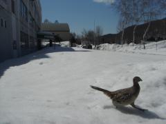 ゆうばり自然体験塾にキジがやって来た!